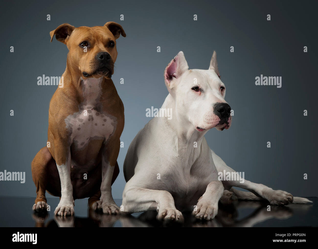 Dog argentin et Staffordshire Terrier sur le plancher brillant Photo Stock
