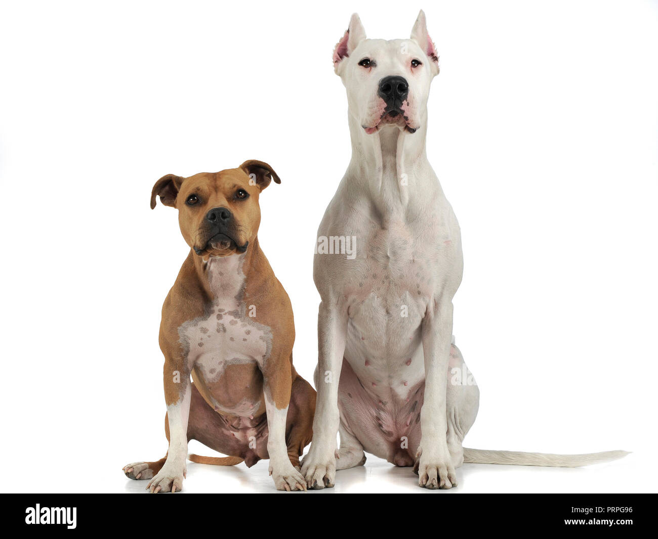 Dog argentin et Staffordshire Terrier sur le plancher blanc Photo Stock
