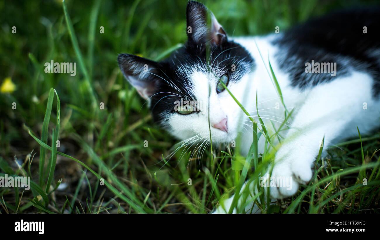 Jeune chat noir et blanc, couchée dans un pré, curieux, face à huis clos Photo Stock