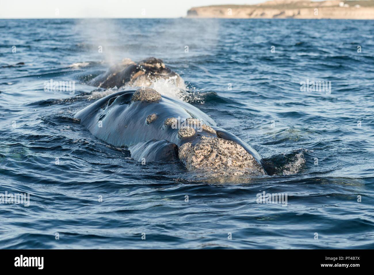 Baleine franche australe sur l'expiration à la surface. Photo Stock