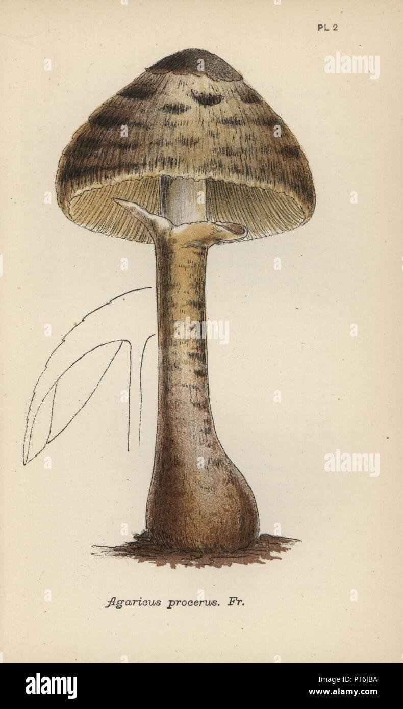 Coulemelle Agaricus Procerus Chromolithographie D Une Illustration Par Mordecai Cubitt Cooke D Un Compte Simple Et