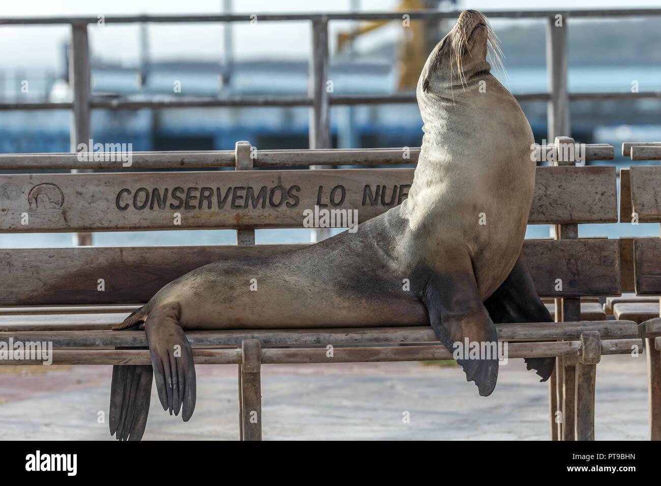 Sur un banc, Sealion Conservemos Lo Nuestro, nous conservons ce qui est la nôtre, Puerto Baquerizo Moreno, San Cristobal island, îles Galapagos, Ecuad Photo Stock