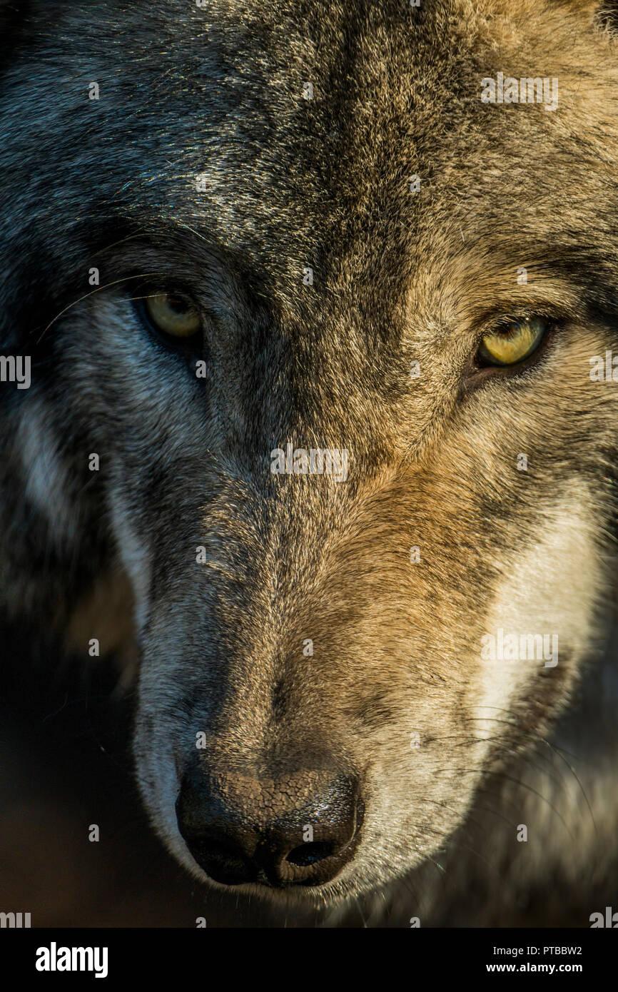 Closeup portrait of a gris ou le loup. Le Loup est à la recherche un peu sur la gauche. Photo Stock