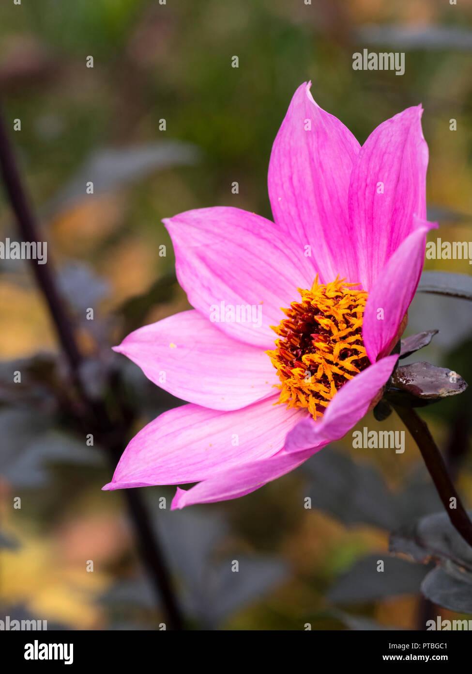 """Centré jaune, magenta riche fleur de la demi-feuilles sombres dans l'été Hardy, le dahlia """"magenta Star' Banque D'Images"""
