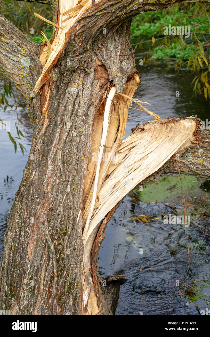 La division de la direction générale du tronc de l'arbre Photo Stock