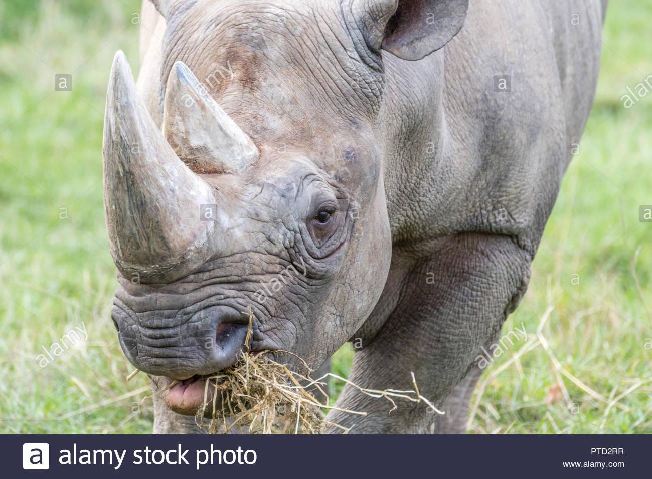 Le rhinocéros noir de l'Est Photo Stock