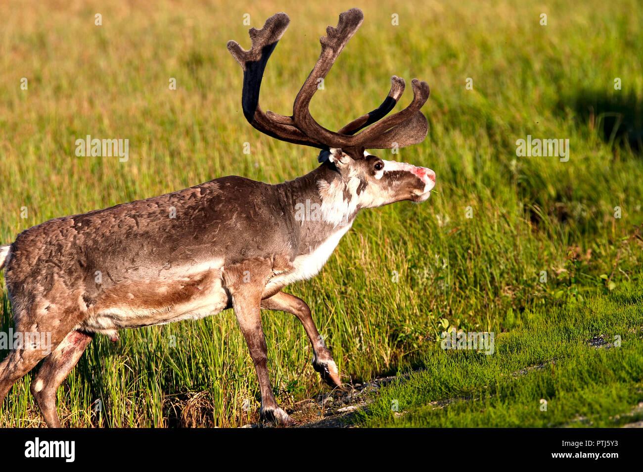 Bois de renne avec de gros nez rouge et de refroidissement sur le champ dans soleil du soir. Photo de renne mâle avec de l'herbe verte sur l'arrière-plan. Banque D'Images