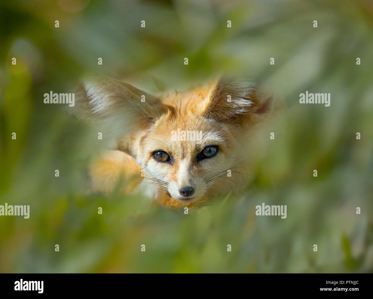 Fennec Fox Vulpes zerda dormir photographie en captivité Photo Stock