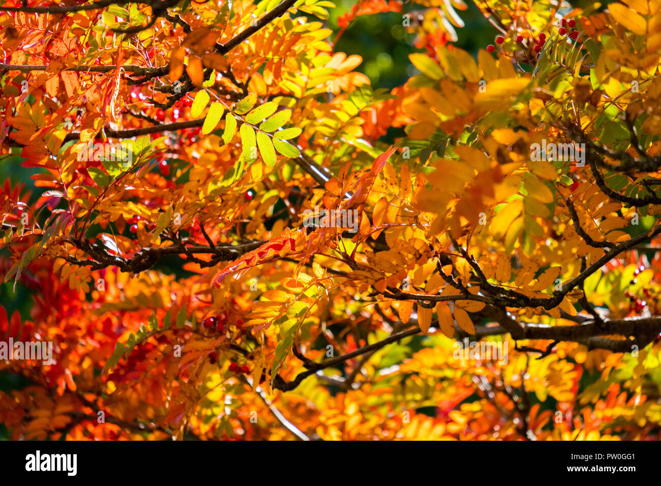 Feuilles d'or et rouge sur l'arbre en automne, Edale , Parc national de Peak District Photo Stock