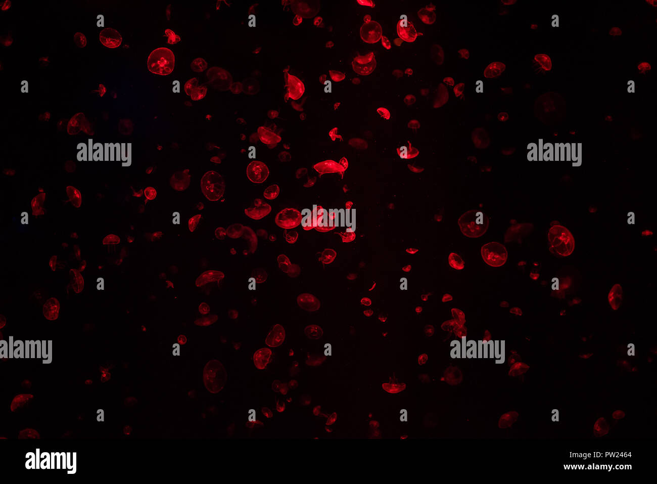Méduse rouge foncé en aquarium avec beaucoup d'autres gelées flottant sur l'arrière-plan Photo Stock