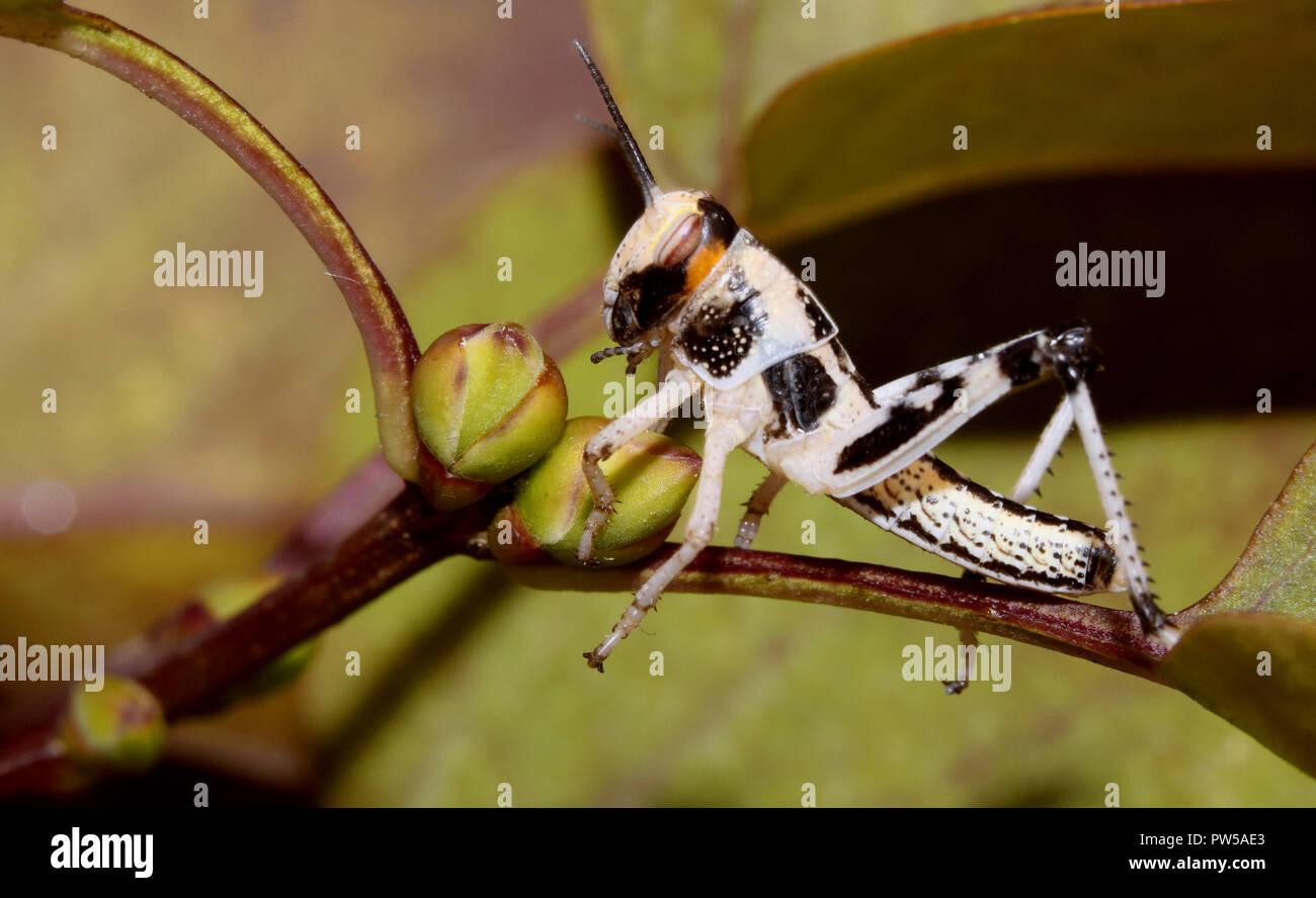 Locust macro close up Photo Stock