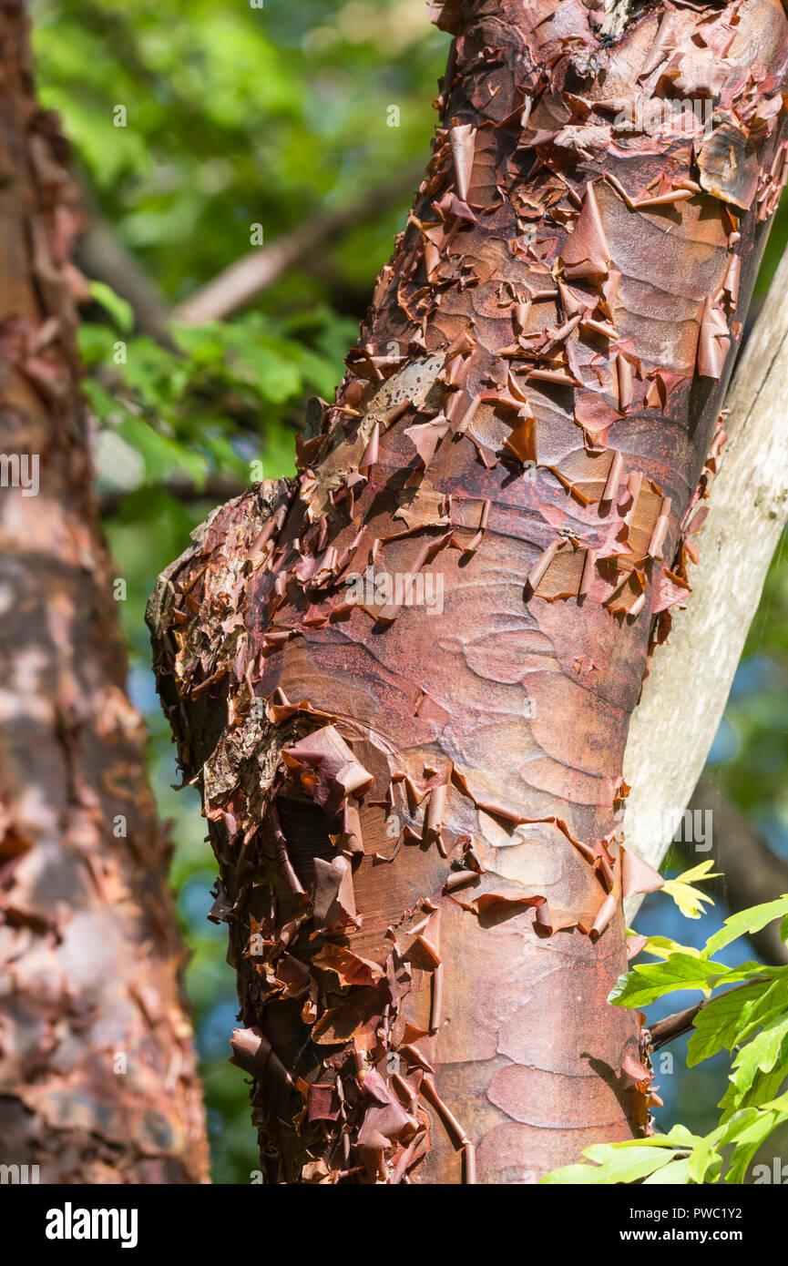 De Gros plan sur l'écorce pour le tronc d'un arbre Paperbark Maple (Acer griseum), un défaut de croissance des arbres en automne au Royaume-Uni. Photo Stock