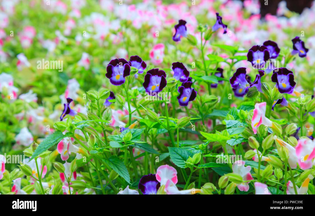 Variétés de fleurs, de triangle ou Torenias Bluewings, que de belles ...