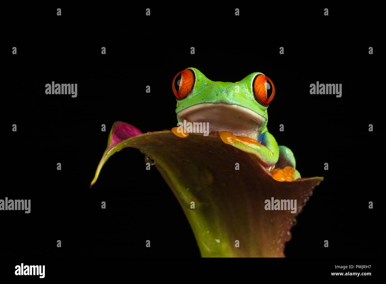 La rainette aux yeux rouges (agalychnis callidryas) Banque D'Images