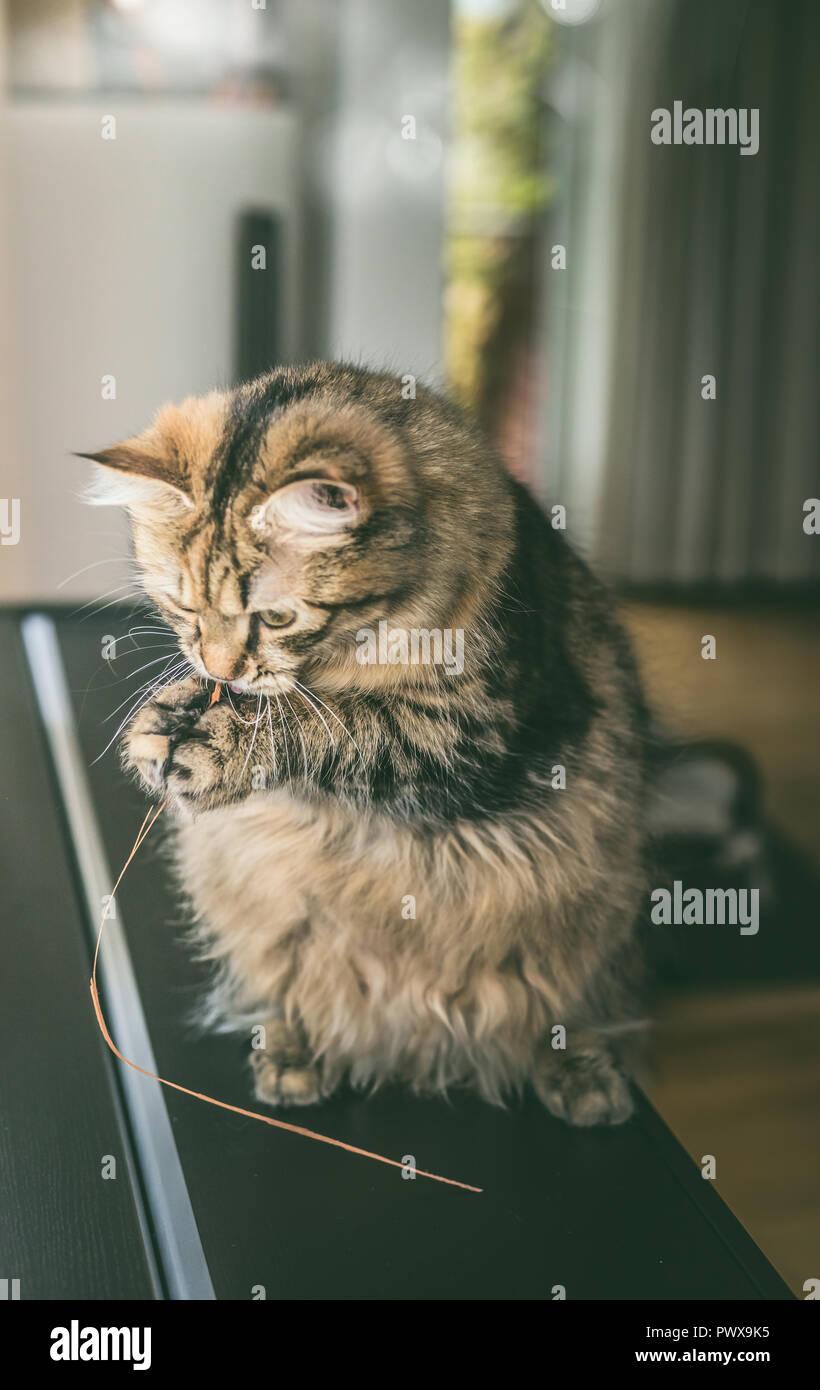 Fluffy cat est assis sur ses pattes arrière et est titulaire d'herbe dans ses pattes avant et est la mâcher, piscine. Chat drôle joue Photo Stock