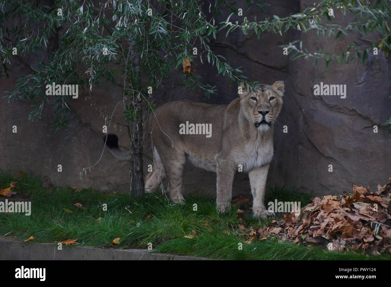 Londres, Royaume-Uni. 18 Oct 2018. ZLS London Zoo's lions asiatiques célébrer l'arrivée de l'automne avec traiter parfumées, Londres, Royaume-Uni. 18 octobre 2018. 18 octobre 2018. Credit Photo : Alamy/Capital Live News Banque D'Images
