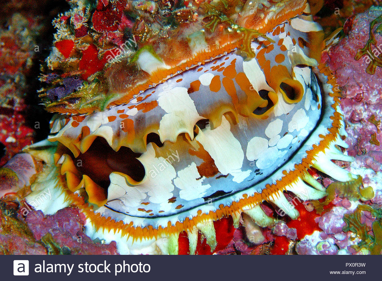 Spondylus ou coquille d'huître épineuse (Spondylus variauns), le manteau de ces mollusques bivalves est très variable en couleur, Maledive islands Photo Stock