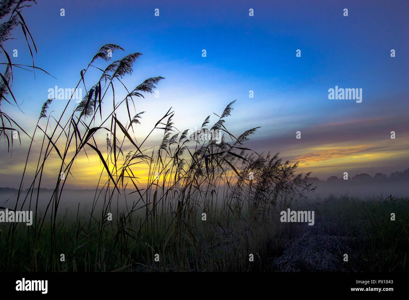 Misty roseaux pendant le coucher du soleil sur un fond de nuages colorés, roseau commun avec brouillard paysage Photo Stock