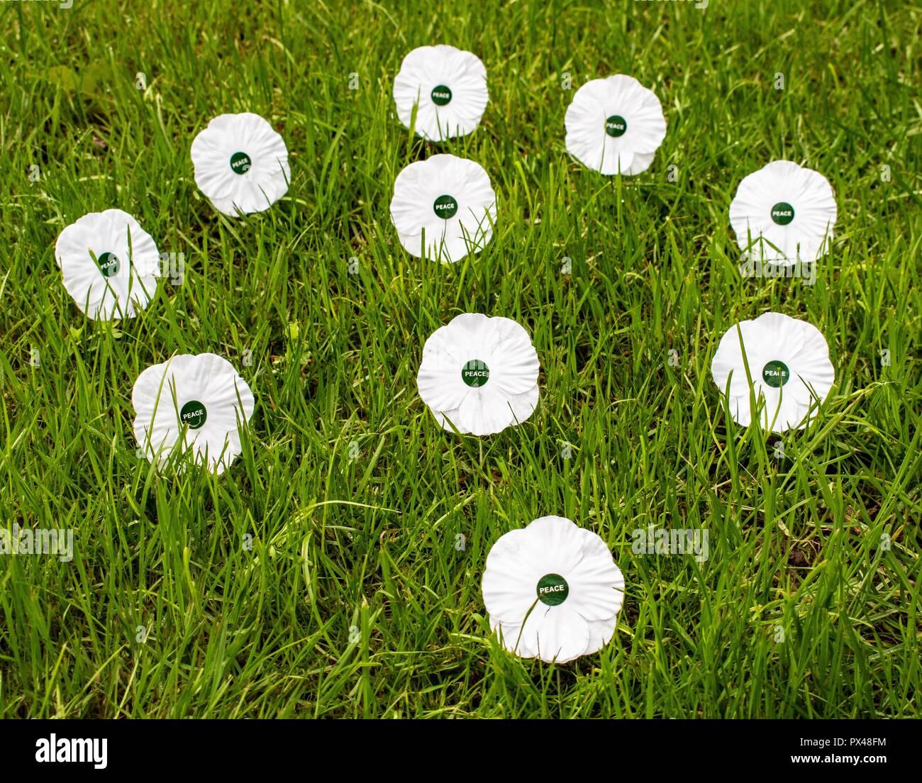 Coquelicots blancs blanc coquelicot du souvenir de la paix Photo Stock
