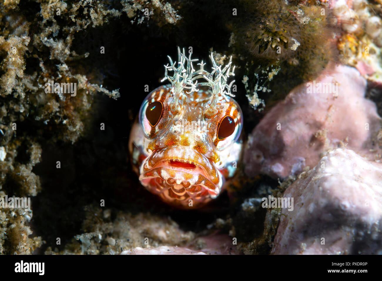 À l'aide de faisceau d'éclairage spéciales limitées snoot, j'ai capturé cette petite tête de peering blennies fringe à partir d'un petit tube pour lequel le poisson vit. Photo Stock
