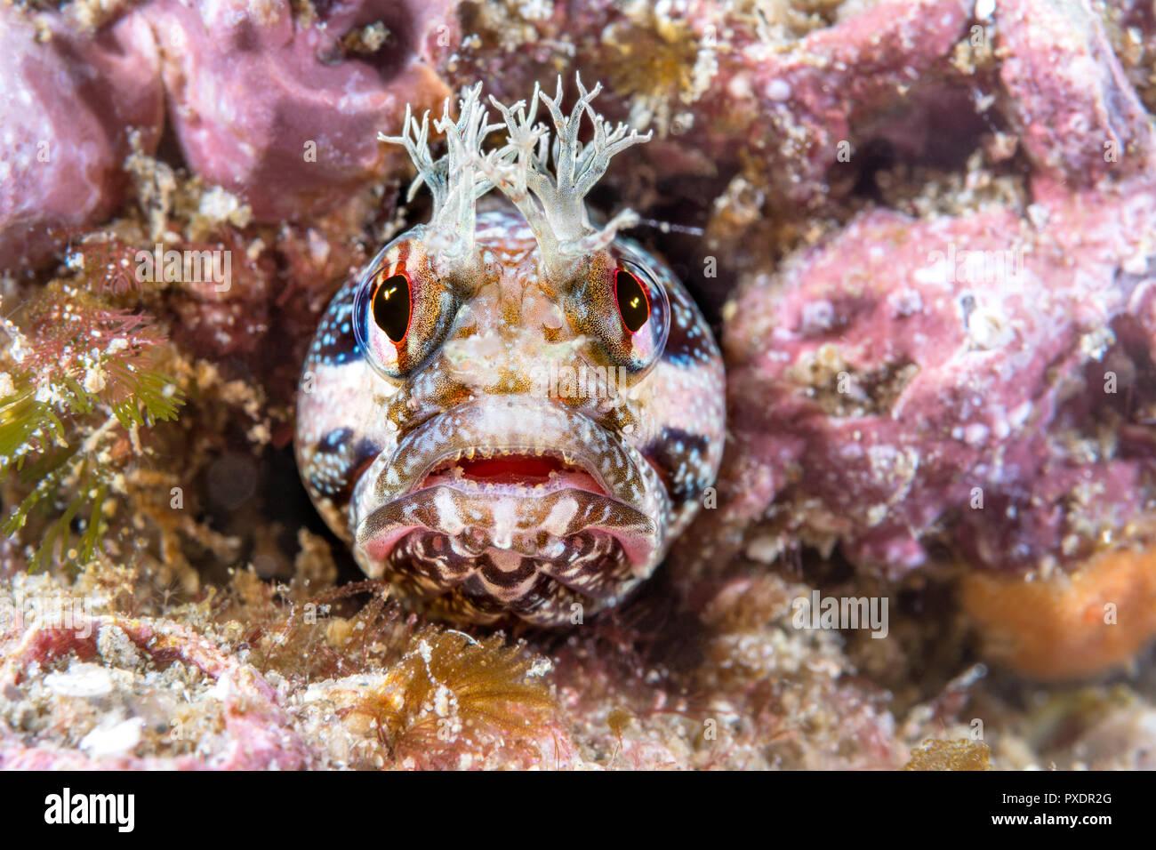 Une petite frange rouge blennies tête scrutant d'un petit tube pour lequel le poisson vit. Photo Stock