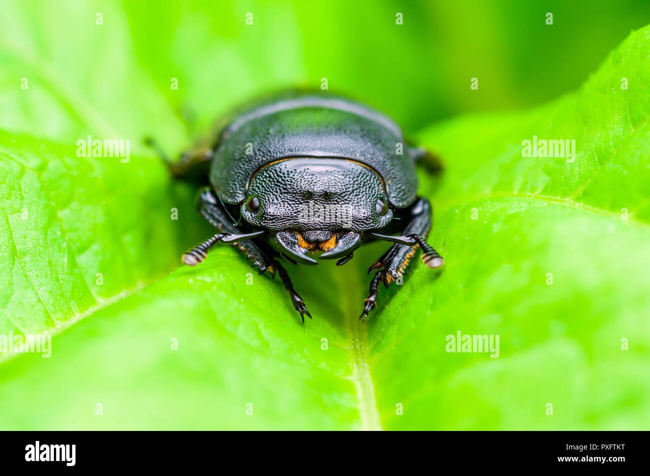 Insecte Coléoptère noir sur fond vert feuille Photo Stock
