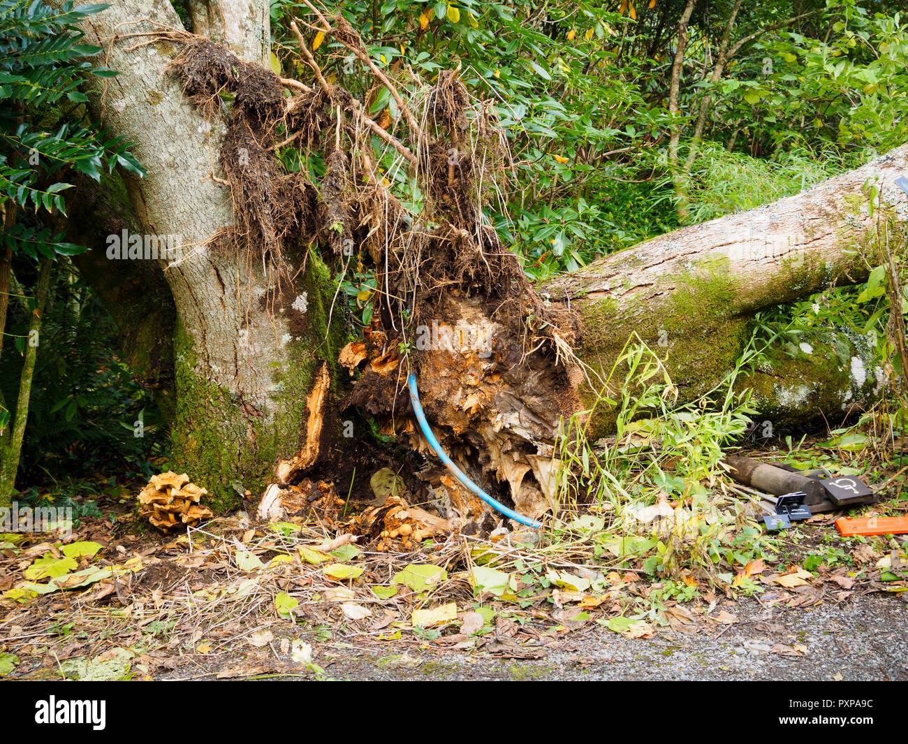 Champignon Miel, Armillarea mellea, montrant à la base d'un Catalpa x erubescens malades 'Purpurea'. L'arbre s'est séparé après l'automne gales Photo Stock