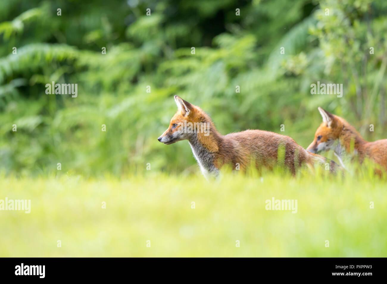 L'angle faible, capture du paysage: paire de jeunes sauvages, des renards roux (Vulpes vulpes) est arrêté et alerte dans l'herbe, à côté, le bois naturel contre l'arrière-plan. Photo Stock