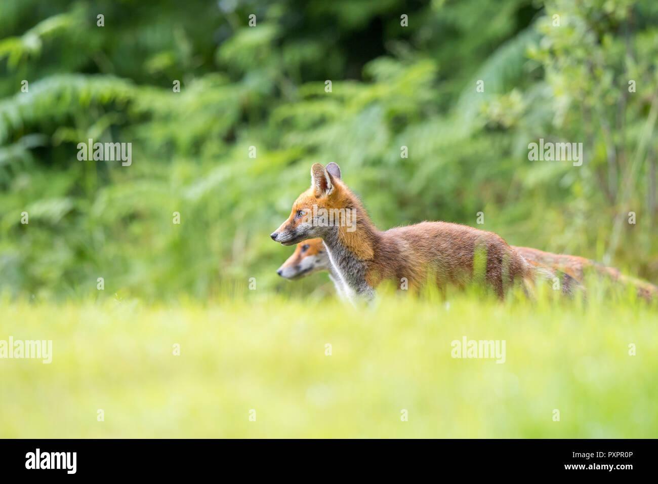 Low angle, vue latérale des deux jeunes sauvages, des renards roux (Vulpes vulpes) s'arrêta, côte à côte, alerte dans l'herbe, avec fond bois naturel UK. Photo Stock