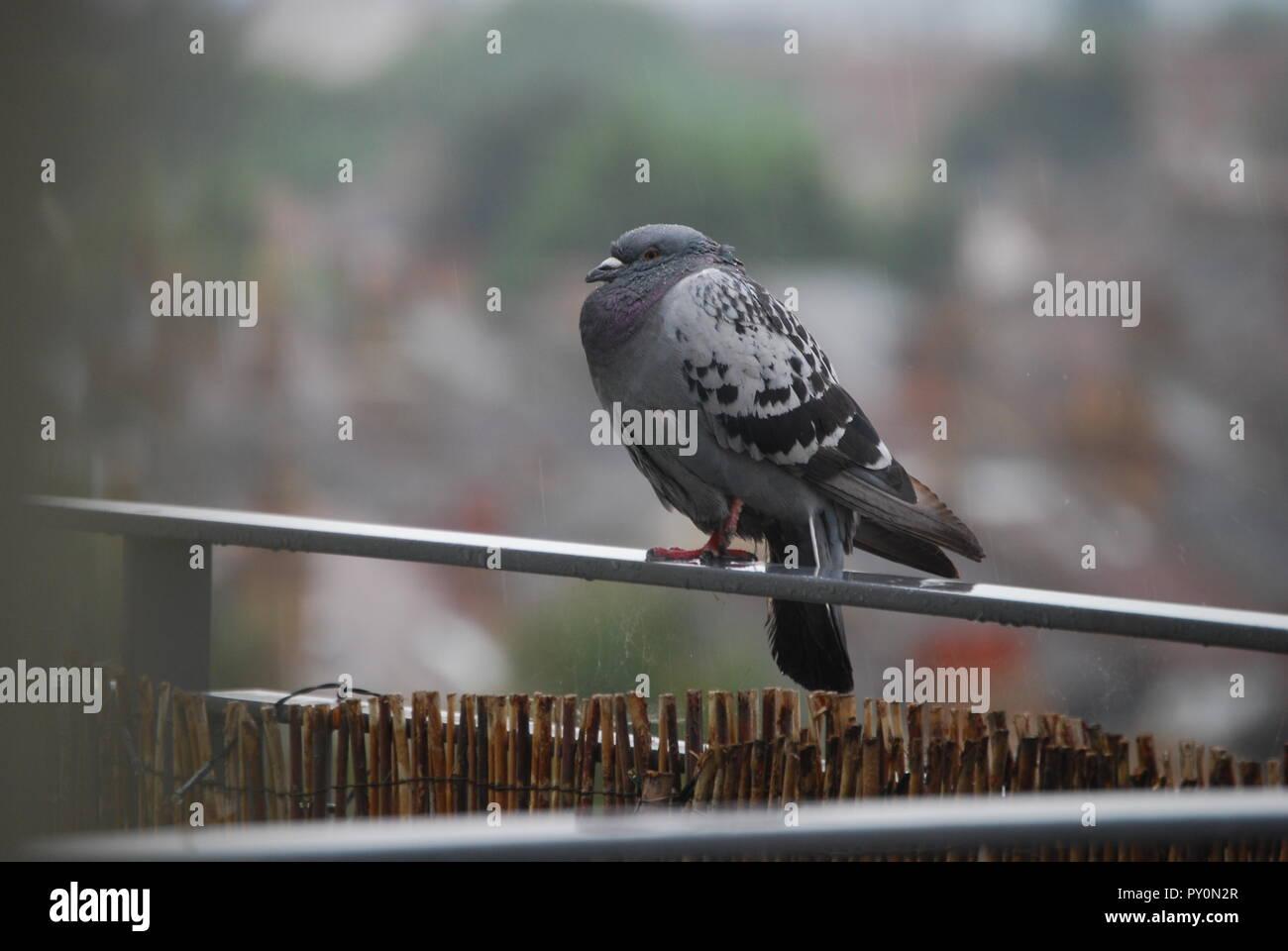 Triste pigeon humide en essayant de garder au chaud Photo Stock
