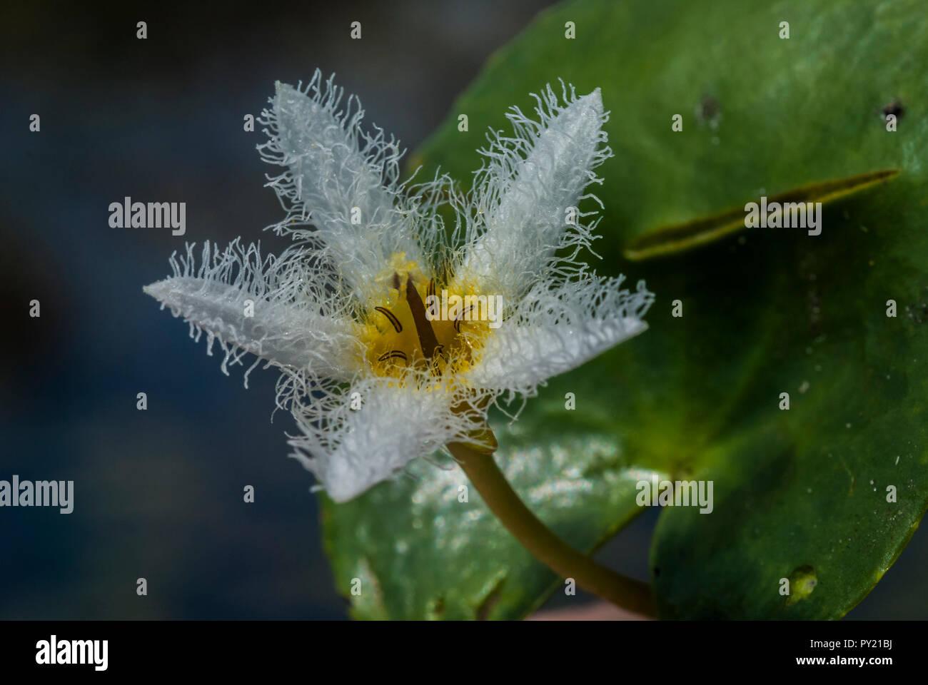 Close up of a Nymphoides indica, robuste, Marshwort dans un petit lac près de Touros, Rio Grande do Norte, Brésil Photo Stock