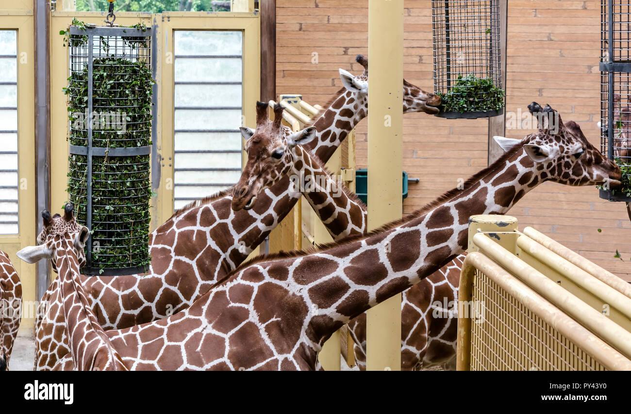 La girafe réticulée (Giraffa camelopardalis reticulata), également connu sous le nom de girafes somaliens, de manger. Banque D'Images