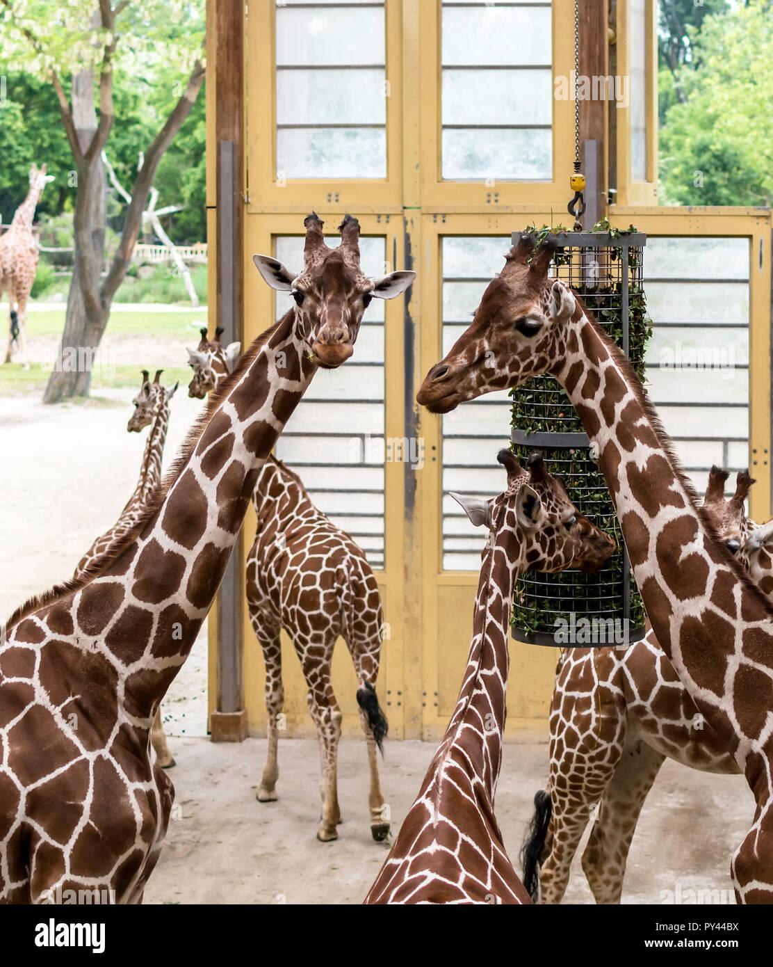 La girafe réticulée (Giraffa camelopardalis reticulata), également connu sous le nom de girafes somaliens, après l'alimentation. Banque D'Images