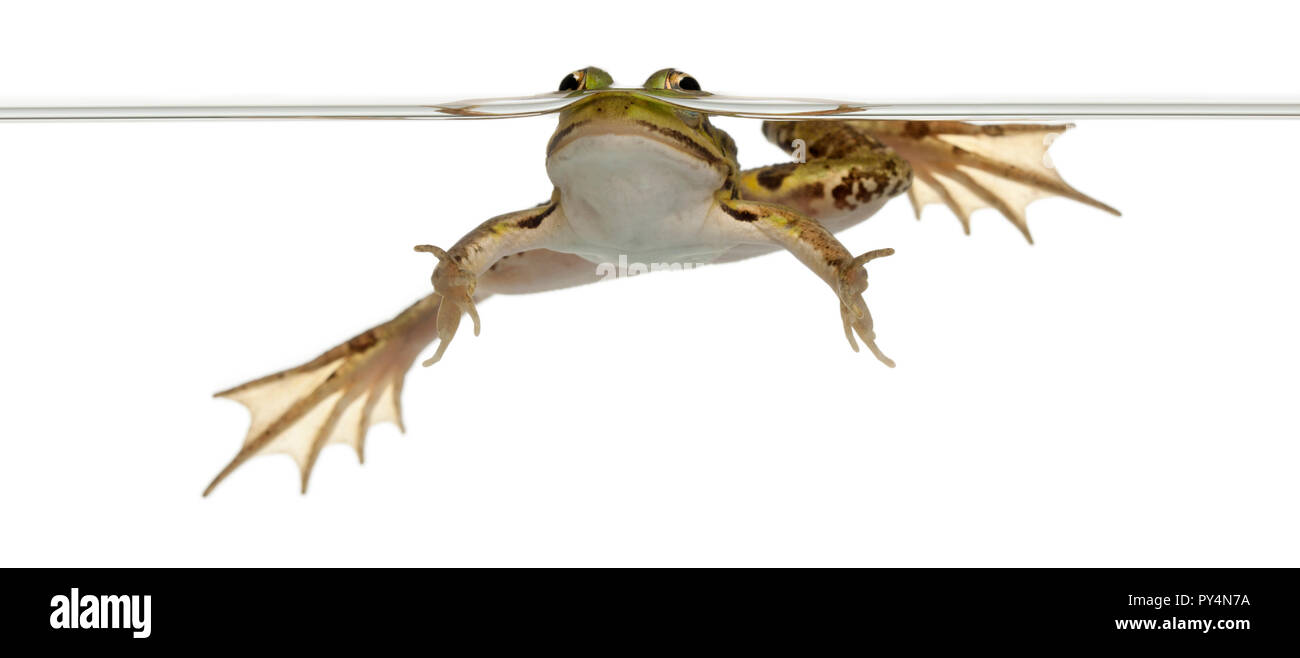 Edible Frog, Rana esculenta, in front of white background Photo Stock