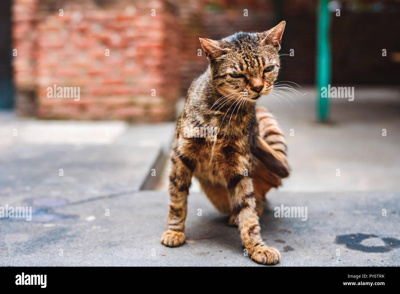 La rue sans-abri cat scratching lui-même dans la cour du monastère Photo Stock