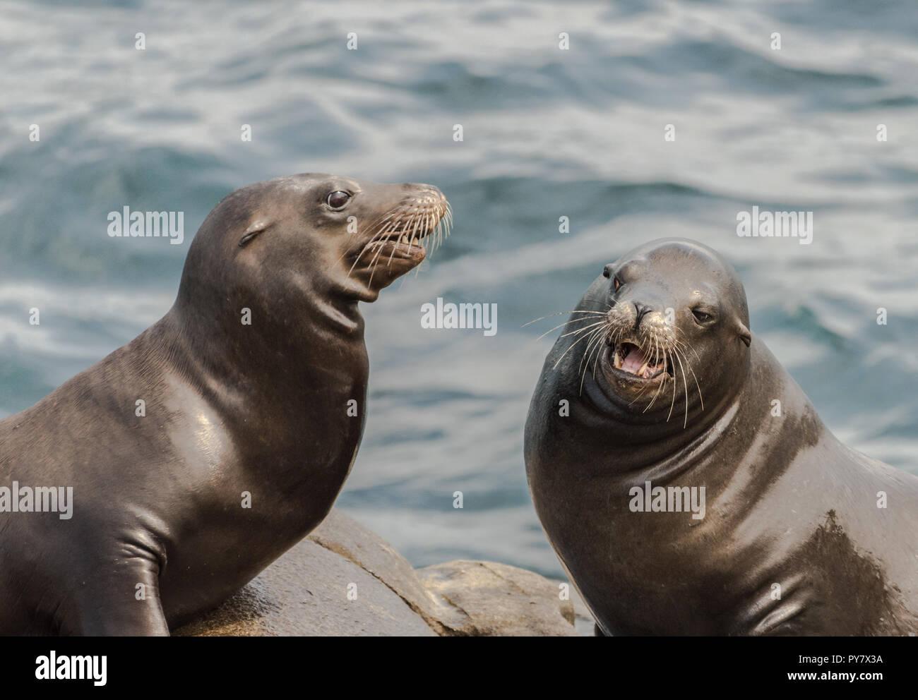Deux lions de mer assis sur les rochers à La Jolla, Californie Banque D'Images