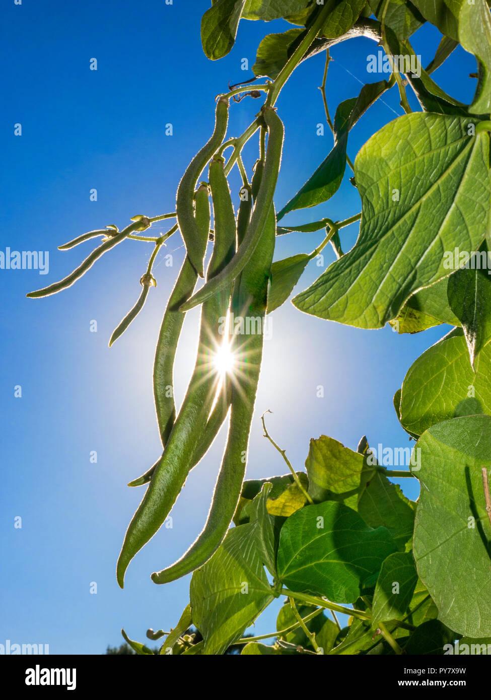 Haricot d''Moonlight' sur un châssis de jardin avec sun burst briser. Auto britannique haricots Pollinisateurs Banque D'Images