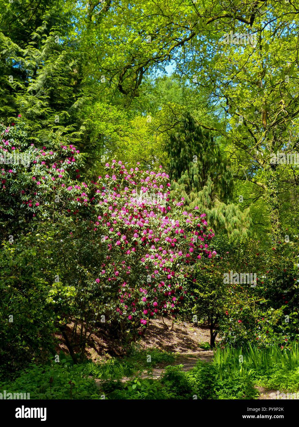 Les azalées et rhododendrons floraison dans le soleil du printemps à Cefn Onn Parc, Cardiff, Pays de Galles, Royaume-Uni Photo Stock