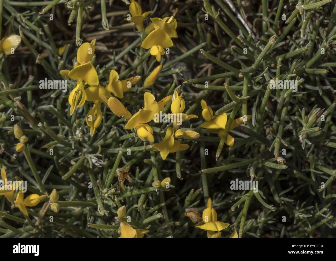 Genêt épineux, Genista acanthoclada, en fleurs en garrigue, Rhodes. Photo Stock