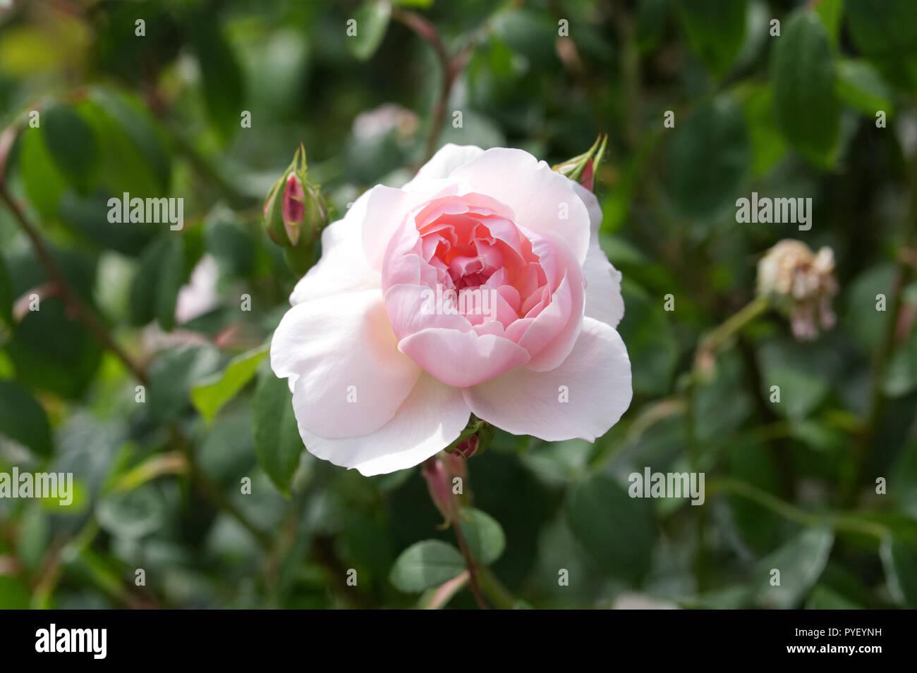 Rosa 'The Generous Gardener Ausdrawn' fleurs. Photo Stock