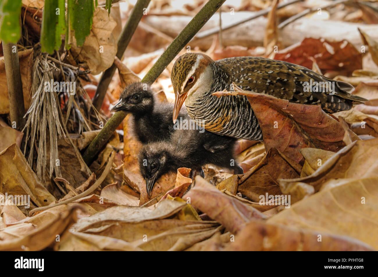 Buff-banded Rail mère, sur une île du Pacifique, l'exploration et à l'alimentation par la litière de feuilles avec l'habitat sa couvée des nouveau-nés. Photo Stock