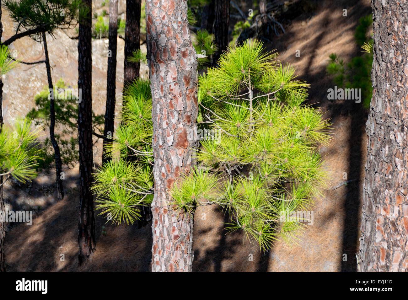 L'écorce des arbres brûlés et nouvelle repousse verte après un feu de forêt, l'arbre de pin (Pinus canariensis) Banque D'Images
