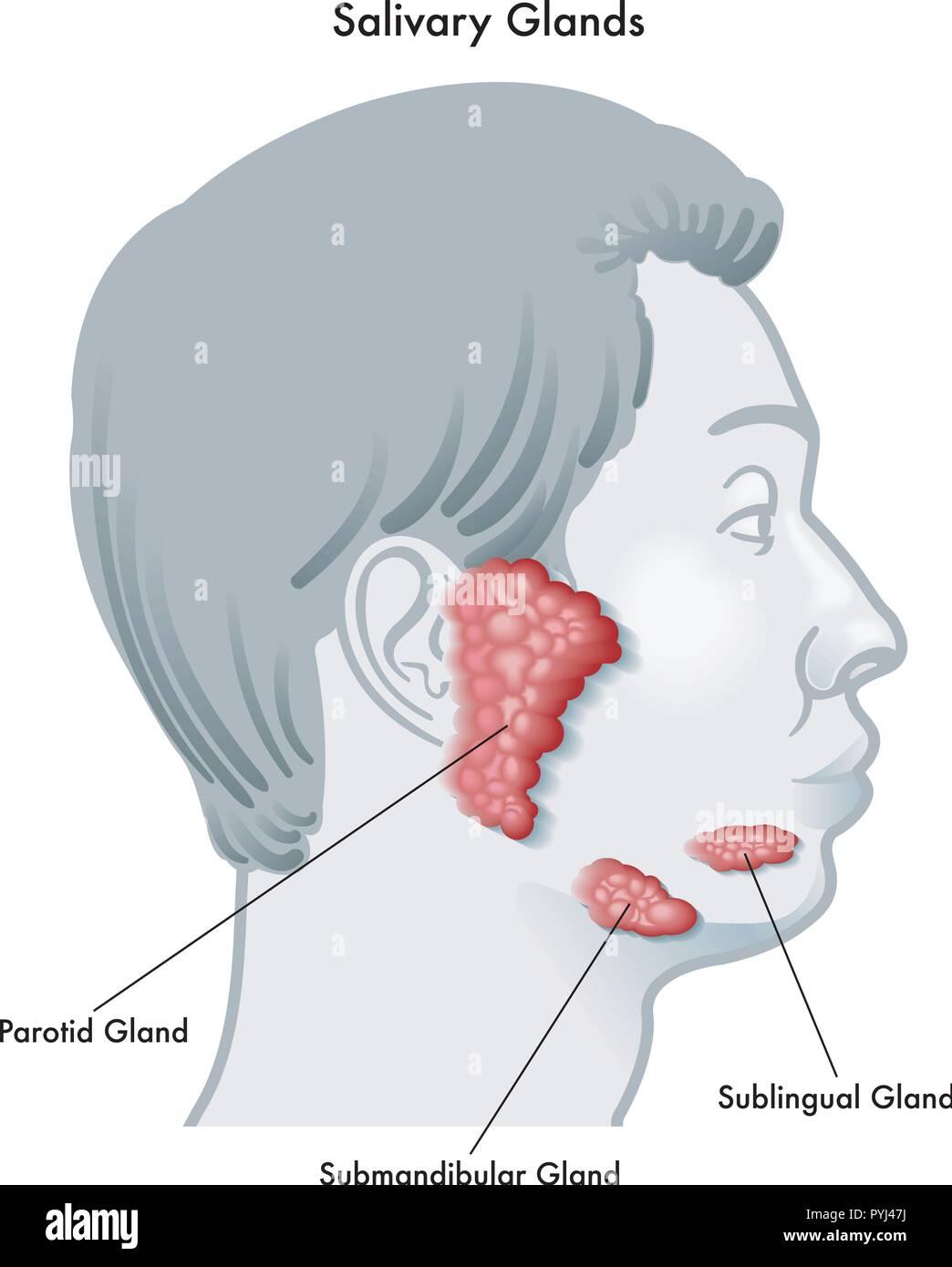 Schéma d'illustration vectorielle d'un visage de profil, notant les glandes salivaires et leur emplacement, isolé sur un fond blanc. Photo Stock