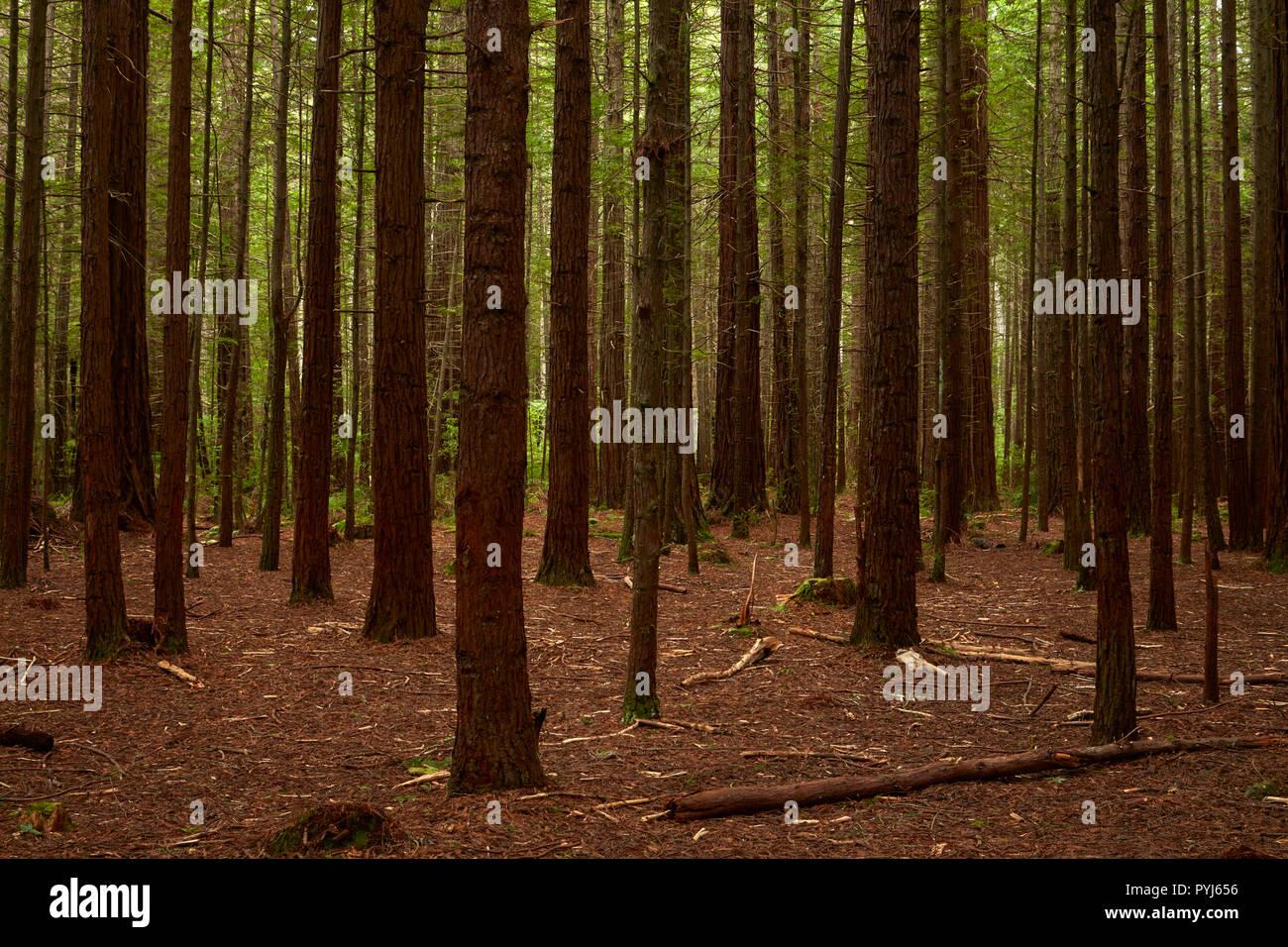 Bois rouge sur le tronc des arbres, la forêt de Redwoods Whakarewarewa (), Rotorua, île du Nord, Nouvelle-Zélande Banque D'Images