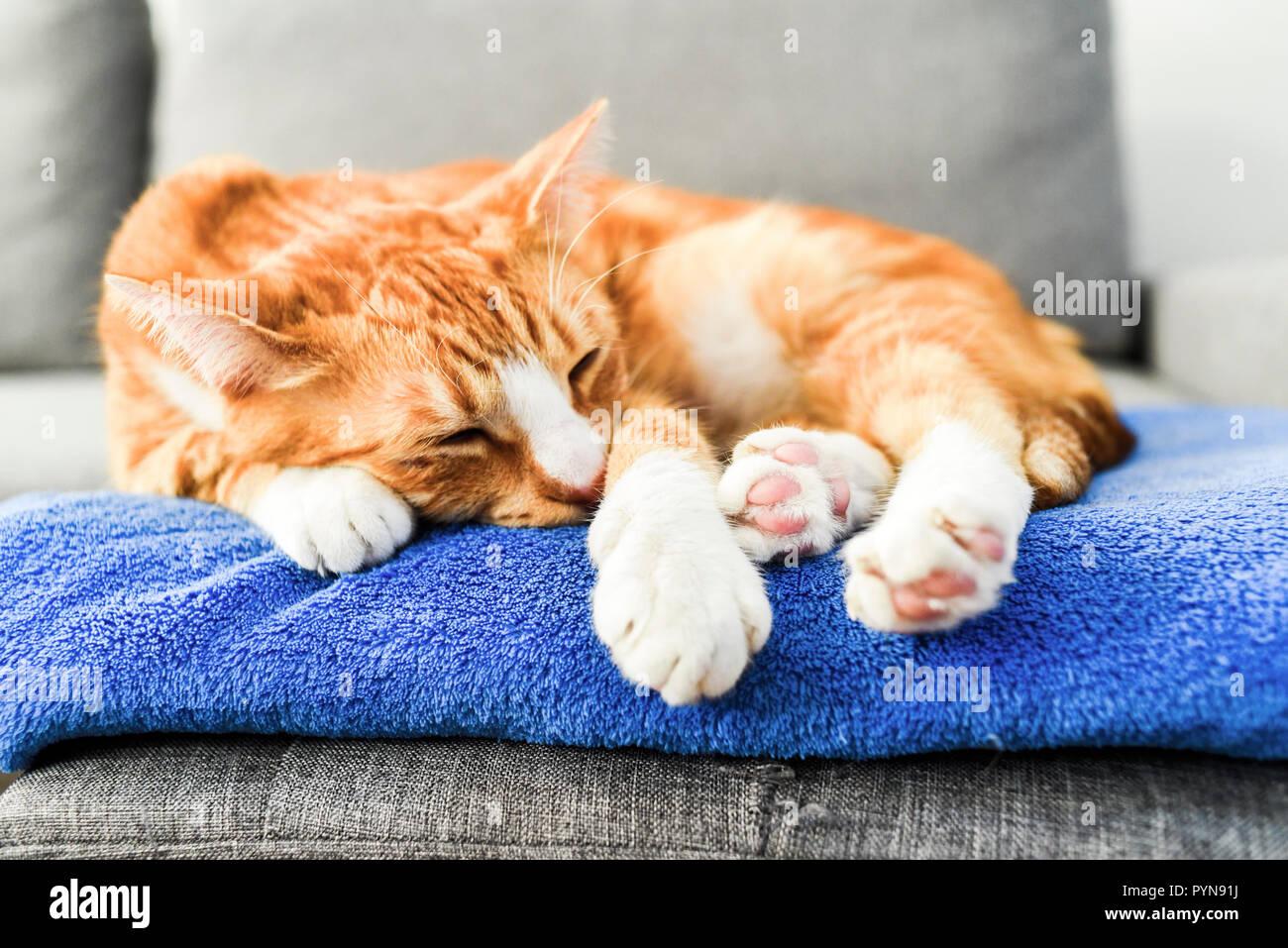 Un beau chat roux couché et de détente à la maison. Photo Stock