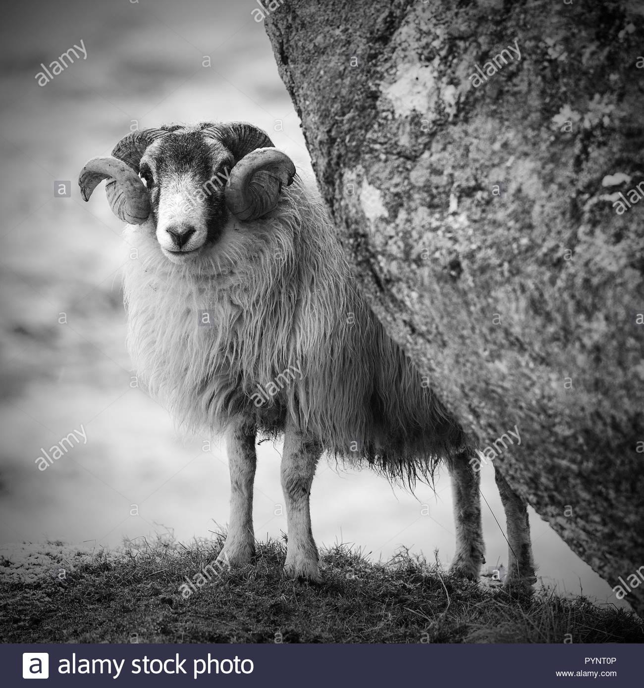 La mise à l'abri des moutons derrière boulder, Isle of Harris, Scotland Photo Stock