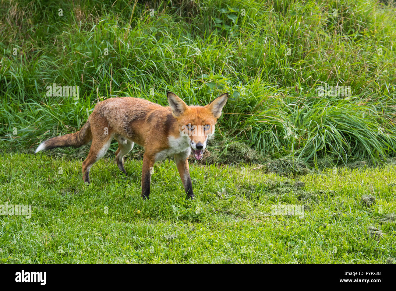Red Fox sur l'herbe Photo Stock