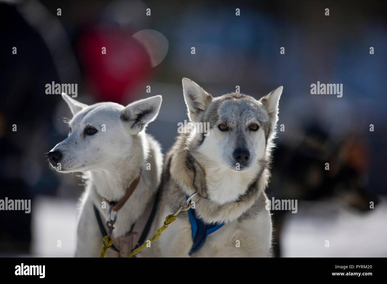 Deux chiens de travail portant des faisceaux. Banque D'Images