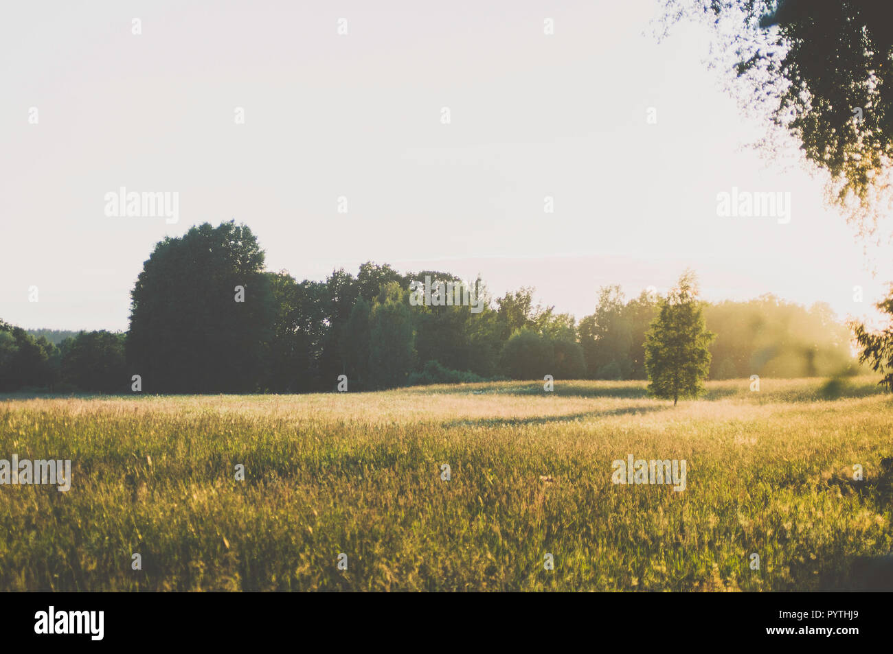 Bouleau dans le champ d'herbe. Longue soirée d'ombres. Photo Stock