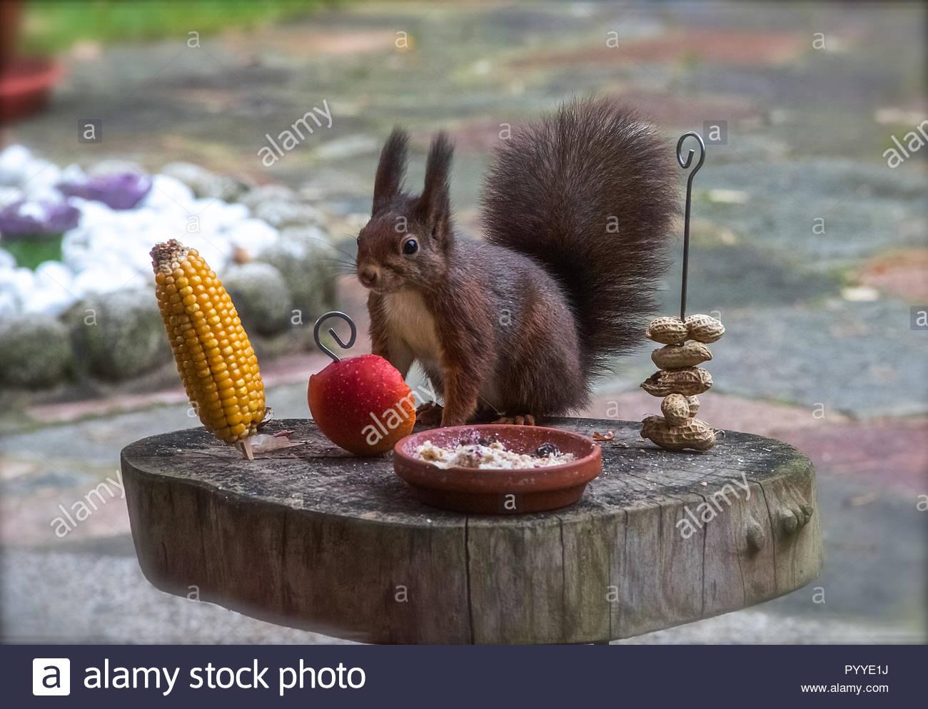 Squirrel a différents aliments à choisir à la place d'alimentation Photo Stock